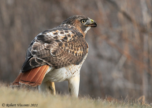Red-tailed Hawk.  Photo © Flickr User: sunnyf16.