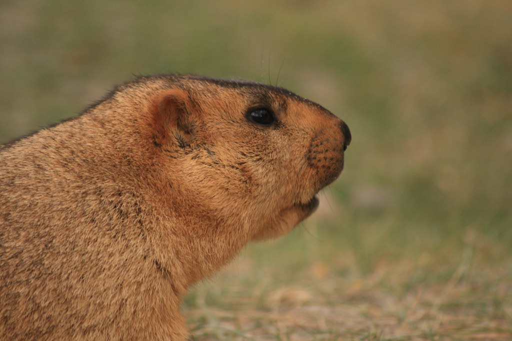 Marmot (on way to Pangong)