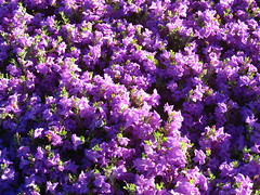 Purple Flowers and Shadows