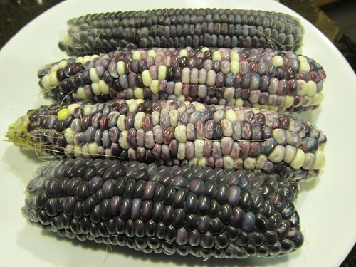 blue corn, indian corn, blue, purple IMG_7883