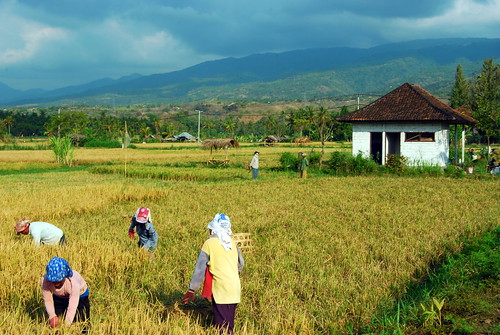 Toiling In The Fields Of Bali