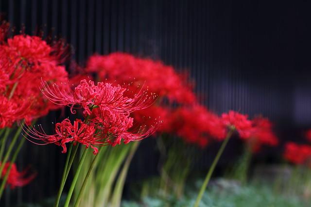 Lycoris radiata (Matsudo, Chiba, Japan)
