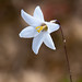 Ixia capillaris - Photo (c) Tig, all rights reserved