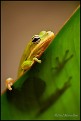 Little Green Tree Frog II