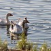 Small photo of Geese on Almaden Lake