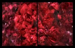 Rosa Plenteous