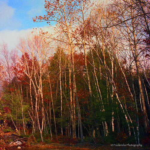 autumn trees tree award shining birches the vividimagination rockpaper greenscene