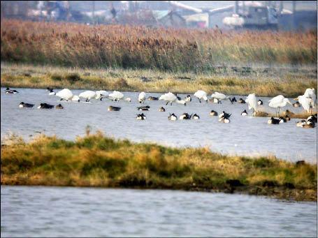 茄萣濕地2011年夏天有27隻黑面琵鷺造訪,儼然成為黑面琵鷺的新樂園。(資料畫面,照片由茄萣鄉生態文化協會會長鄭和泰提供)