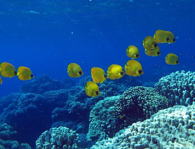 Peces mariposa del Mar Rojo ( Chaetodon semilarvatus ) en Gota Abu Ramada, Egipto. Los arrecifes coralinos del Mar Rojo.