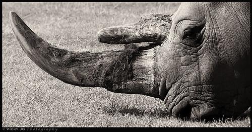 africa uk blackandwhite eye monochrome face lines animal sepia zoo skin eating african monotone safari endangered horn toned wrinkles tinted rhinoceros savetherhino woburn whiterhino simum ceratotherium vickyjg vickyjgphotography