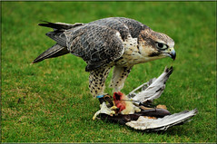 GYR SAKER PEREGRINE (The Kill)