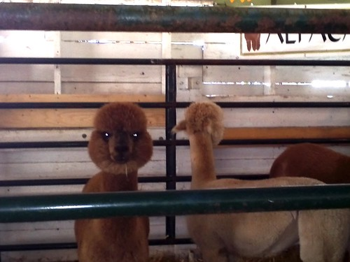 Alpacas with lazers set for stun
