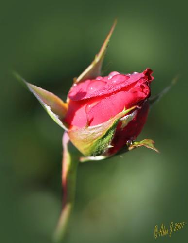 ny newyork flower rose canon niceshot 7d upstatenewyork centralparkschenectady mygearandme ringexcellence 100mmmacrof28lisusm musictomyeyeslevel1