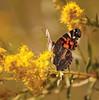 Tawas Point Moth