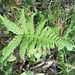 broad beech fern - Photo (c) Homer Edward Price, some rights reserved (CC BY)