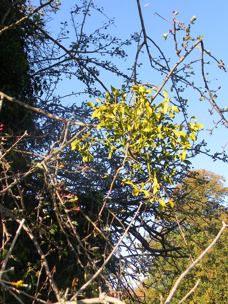 Mistletoe Guildford to Horsley