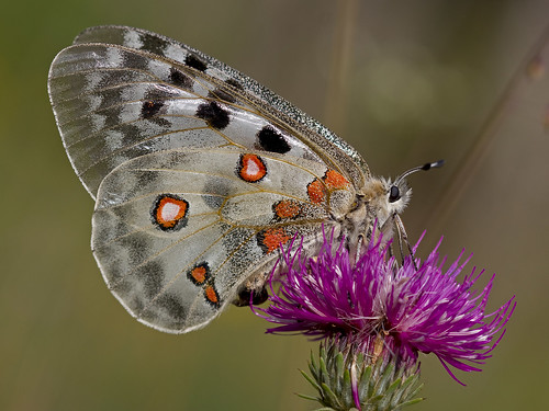Apollon (Parnassius apollo) Apollo Butterfly