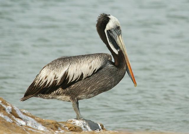 Pelicano peruano peruvian pelican reserva de paracas - Fotos de pelicanos ...