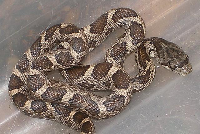 Baby Rat Snake 0009 Flickr Photo Sharing