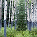 Bristlecone - Blue Bells - Birches by nailbender