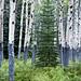 Bristlecone - Blue Bells - Birches by nailbender