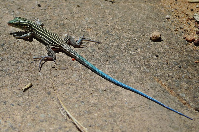 blue tailed skink coloring pages - photo#44