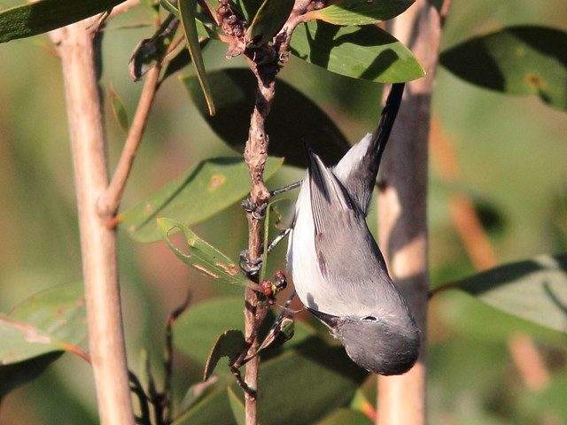 Blue-gray Gnatcatcher 3-20110923