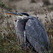 Great Blue Heron (Ardea herodias), a large wading bird in the heron family Ardeidae