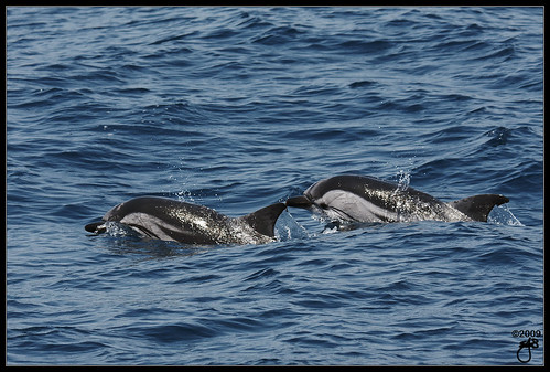 Striped Dolphins VI