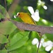 Small photo of Saffron Finch (Sicalis flaveola)