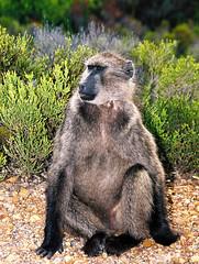 western gorilla(0.0), gorilla(0.0), marmot(0.0), animal(1.0), baboon(1.0), monkey(1.0), mammal(1.0), fauna(1.0), old world monkey(1.0), ape(1.0), wildlife(1.0),