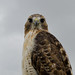 Red tailed hawk by jon.atli