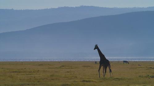 tiere kenya ken giraffe landschaft nakuru ort huftiere ereignis lakeviewestate bildinhalt kenyazanzibar2007