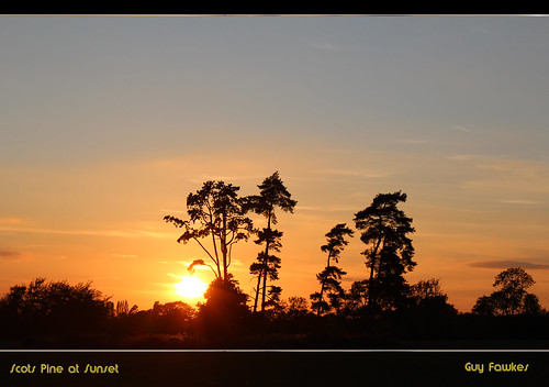 scots pine at sunset