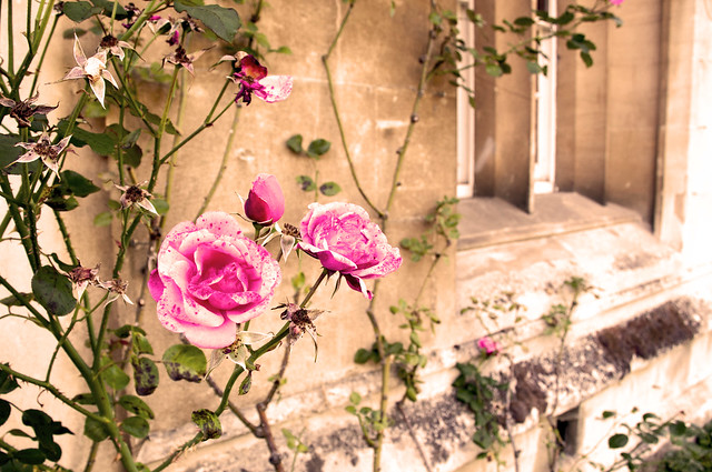 pink rose in magdalen college