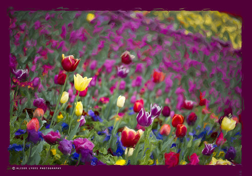 A Field of Colour by alison lyons photography