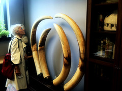The Tusks in their New Home