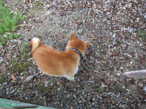 Shiba inu 柴犬