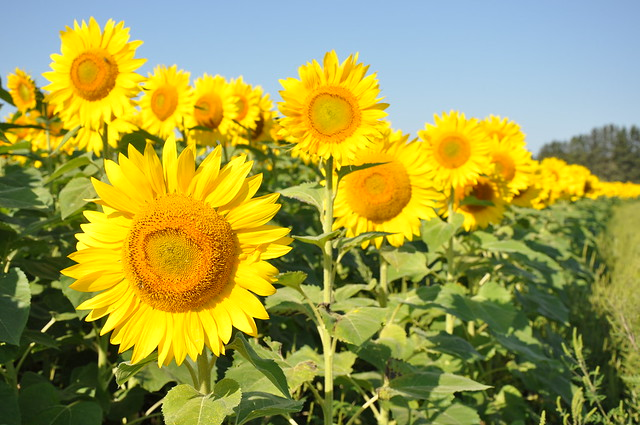 Sunflowers flickr photo sharing - Plantas trepadoras de sol ...