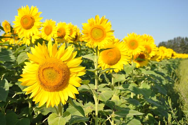 Sunflowers flickr photo sharing - Plantas de exterior resistentes al calor ...