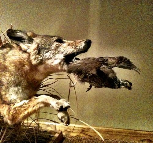 A Coyote & A Quail