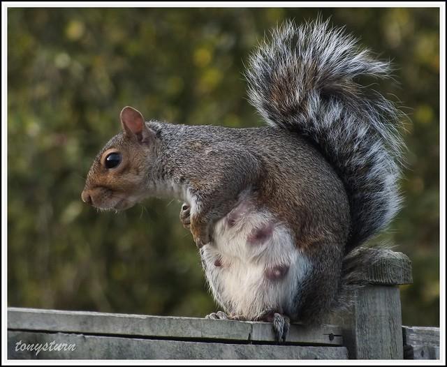 Pregnant Squirrels Singles And Sex