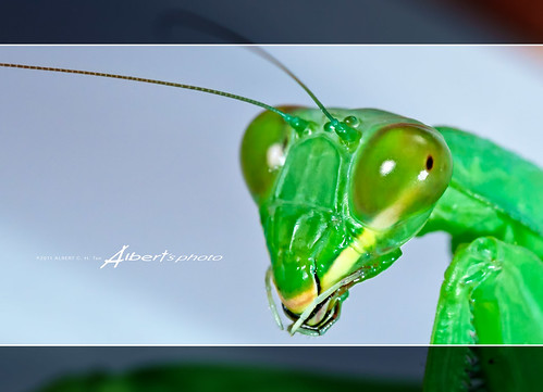 Praying mantis (macro)