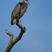 Flickr photo 'Great Blue Heron' by: sydphi.