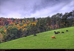 Cows Of Fall