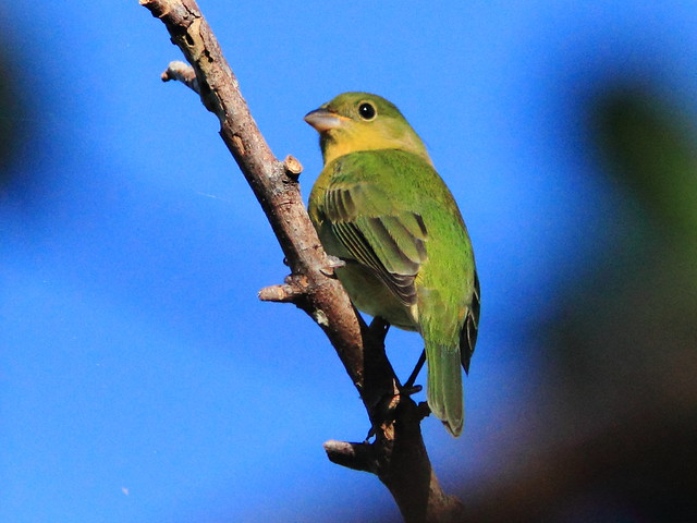 Painted Bunting female (Passerina ciris) 2-20111012