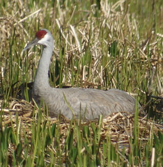 Sandhill Crane, Viera Wetlands, FL