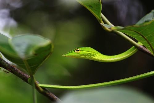 Green Vine Snake Eating Green Vine Snake Ahaetulla Nasuta