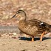 Small photo of Duck at Almaden Lake