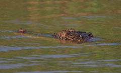 Saltwater Crocodile (Crocodylus porosus), Yellow Water Billabong, Cooinda, Kakadu National Park, Northern Territory, Australia.